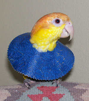 how to clean pine cones for parrots